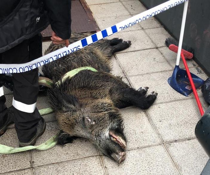 És la imatge del moment de la retirada d'un porc sengl