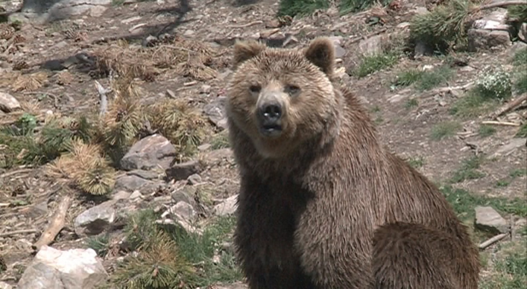 Medi Ambient sanciona amb 6.000 euros Camprabassa per la mort de l'ós